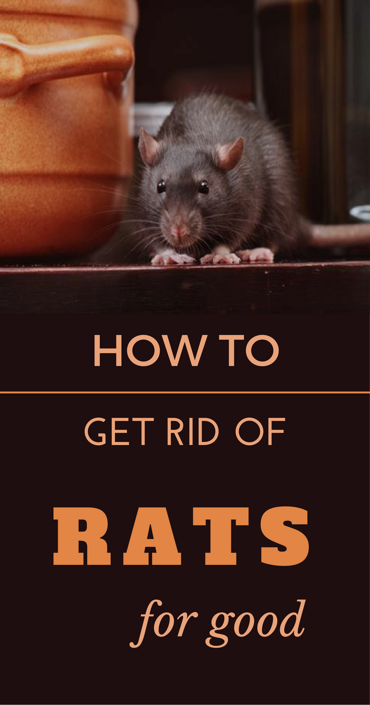 How To Get Rid Of Sewer Smell In Your House: How To Get Rid Of Rats For Good