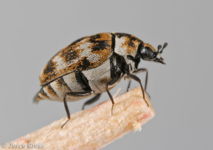 Best Methods On How To Get Rid Of Carpet Beetles